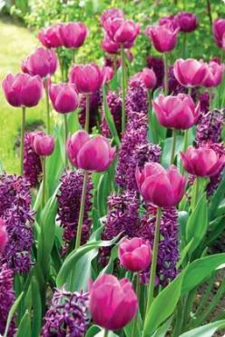 tulips and hyacinths: Tulips Hyacinths, Purple Tulip, Colors Tulips, Planting Tulip, Tulip Flower Bed, Garden, Purple Flower