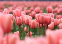tulips: Color, Beautiful, Things, Flowers, Spring, Garden, Pink Tulips, Favorite Flower