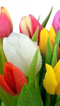 Tulips | Cool Places: Favorite Flowers, Drops Tulips, Water Drops, Color, Beautiful Flowers, Spring, Garden, Flower