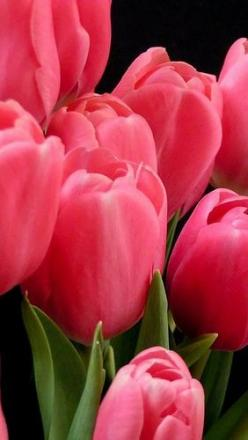 Tulips...: Favorite Flowers, Bouquet Tulip, Flower Bouquets, Pink Leaves, Wedding Flowers Tulip