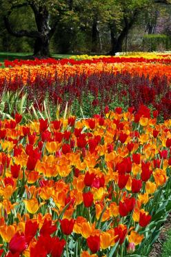 Tulips ! I would Love to visit Holland someday & see this with my own eyes !!: Flowers Collection, Tulip Fields, Flowers Fields, Pretty Tulips, Beautiful Flowers, Tulips Beautiful, Flower Fields