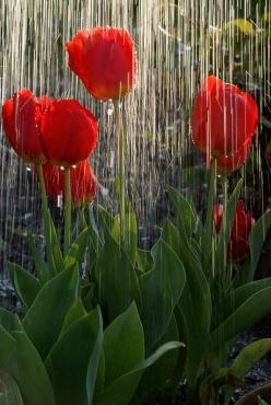 tulips in the rain    http://vijaytamil.org/2012/10/aval-09-10-12-aval-serial-online-09-10-12-vijay-tv-aval-09-10-12-watch-online-aval-ser-today-09-10-12-aval-09th-october-2012/: Spring Rain, Nature, Beautiful, Red Tulips, Raindrops, Spring Shower, Garden