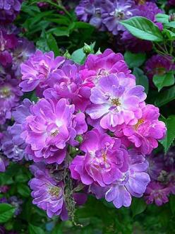 Veilchenblau , a purple rose is so rare. Is thornless, shade-tolerant purple rose with fragrance!: Tolerant Purple, Thornless Shade, Beautiful Flowers, Blue Rose, Purple Roses, Garden