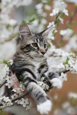(via sofiya-minina) appears to be a Maine Coon kitten: Spring Blossom, Beautiful Cat, Kitty Cats, Animals, Kitten, Pet, Kitty Kitty
