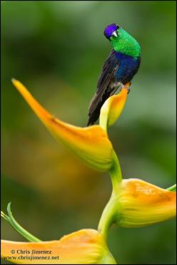 ~~Violet-crowned Woodnymph Hummingbird by Chris Jimenez Nature Photo~~: Nature, Humming-Bird, Violet Crowned Woodnymph, Chrisjimenez, Beautiful Birds, Birds Trochilidae Hummers, Hummingbirds, Hummingbird Photo