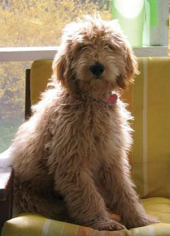 Walk This Way - Bark: Confessions of a Dog Trainer: Goldendoodles ️ ️ ️ ️, Doodles Dogs, Apricot Goldendoodle, Friend, Goldendoodle Dogs, Art Goldendoodle, Animal