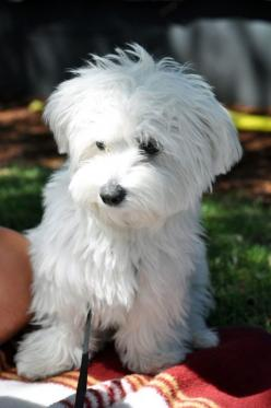 Westiepoo . . . nothing short of adorable.: Doggie, Animals, Cute Puppies, Maltese Puppies, Sweet, Maltese Haircut, Pet, Puppy, Cute Dogs