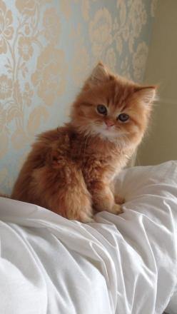 What a beautiful kitten: Kitty Cats, Doll Face Persian Cat, Ginger Kitten, Cats Kittens, Red Cat