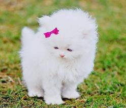 White fluffy kitty: Cats, Animals, Sweet, So Cute, Pet, Kittens, Kitty