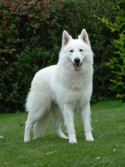 White German shepherd, the best dogs in the world!: Black German Shepherd Dog, German Shepherd Dogs, White German Shepherd Dog, White Shepherd Dog, White German Shepherds, Dogs German Shepherd, Dogs Puppies, White Dogs, Animal
