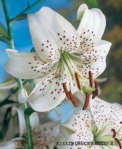 White Tiger Lily: White Tigers, Tigers Lilly, Tiger Lilies, Wedding, Bulbs White, Tiger Lily Flower, Favorite Flower