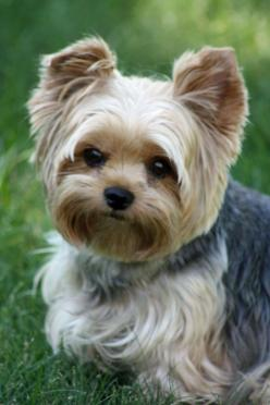 Yorkie ok i want thid lil guy right here. Im a pit bull lover for lyfe but this ninja right here?! This lil ninja right here? Ya i gotta  have him.: Yorkie S, Yorkshire Terrier, Yorkie Haircuts, Puppy Cut, Dog, Animal