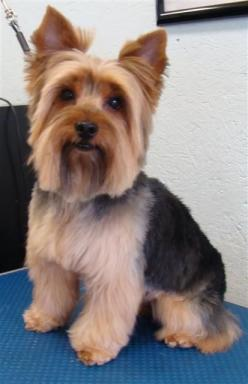 Yorkies Haircuts Style Male Dogs | Yorkie hair cuts or hair styles, please visit our page on Yorkie Hair ...: Yorkie S, Dogs Yorkie, Male Yorkie Hairstyles, Bo Haircut, Male Yorkies Haircuts, Hair Style, Yorkie Hair Cuts Hairstyles, Male Yorkie Haircuts Y