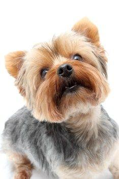 Yorkshire Terrier Information Center | Different Yorkie Haircut Styles: Yorkie Haircut, Yorkies Haircut, Pet, Yorkie Cuts, Dog Haircut, Yorkshire Terriers