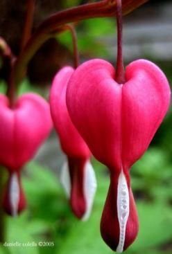 Your dear one gave you the gift of love and that gift lives within you now and forever, nourishing your heart.: Bleedingheart, Heart Flowers, Bleeding Hearts, Beautiful Flowers, Bleeding Heart Flower, Garden, Favorite Flower