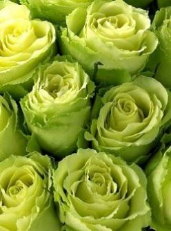 ZsaZsa Bellagio: On the Bright Side!: Green Roses, Color, Wedding, Lime Green, Jade Roses, Chartreuse Roses, Garden, Beautiful Rose, Flower