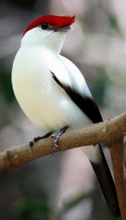 Araripe Manakin, critically endangered, one of the rarest birds in Brazil: Animals, Rarest Birds, Beautiful Birds