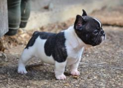Bouledogue français. Trop mignon ce mini modèle :-) Mini French Bulldog Puppy.: French Bulldogs Puppies, Adorable Animals, Baby, Frenchie, French Bulldog Puppies, Mini French Bulldogs, Mini French Bull Dog