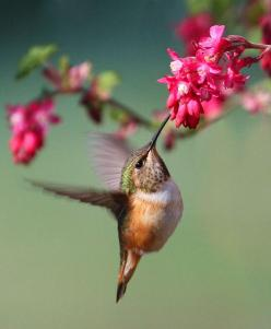 """Hummingbirds are the """"energizer bunnies"""" of the bird world! We have so many this year and I finally figured out how to keep the ants out of their feeders!: Humming Birds, Humming-Bird, Energizer Bunnies, Hummingbirds, Flower, Animal"""