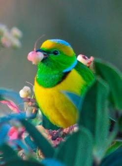 nature creates such amazing beauty from an unlimited palette of spectacular colours & designs!!! we must protect all this unique beauty ~ losing any species is a loss forever!!!  extinction is forever!!!: Colorful Birds, Golden Browed Chlorophonia, An