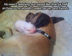 One more reason dogs are awesome…: Animals, Sweet, Dogs, Best Friends, Pet, Pigs, Adorable, Piglet