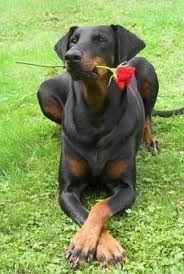 People need facts & education about Pitbulls. Dobermans and Rottweilers have been through the same bias. It is NOT the breed's fault. It's the fault of IRRESPONSIBLE owners who train and breed them to feed their aggressions.   ...........click