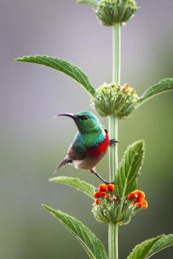 Sunbird resting on the stem of a plant at Kirstenbosch Botanical Gardens, Cape Town, South Africa photo by Claire Butler: Animals, Nature, Beautiful Birds, Photo, Hummingbirds