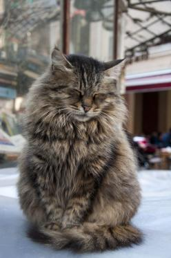 10 Reasons Why You Should Never Own Maine Coon Cats: Kitty Cat, Main Coon Cat, Lion Cat, Maine Coon Cats, Maine Cat, Cats Kittens, Animal, Cat Perch