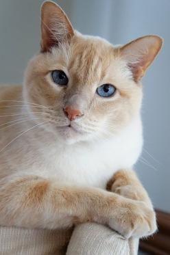 """""""Cats are living adornments."""" --Edwin Lent: Edwin Lent, Living Adornments, Fluffy White, White Cats, Feline, Cats Kittens, White Kittens, Animal"""