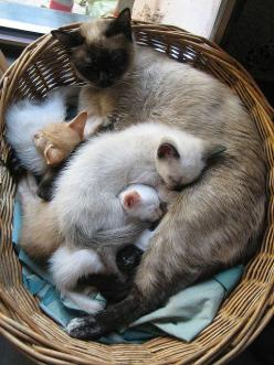 """""""No matter how much cats fight, there always seems to be plenty of kittens."""" --Abraham Lincoln: Cats Cats, Kitty Cats, Siamese Kitten, Kitty Kitty, Siamese Cat, Cats Kittens, Kittycat, Adorable Animal, Cat Lady"""