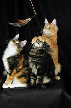 """You see before you a feather...,"" the picture suggests, and I think of the gravity test in Rosencrantz and Guildenstern Are Dead...: Cats, Kitten, Animals, Kitty Cat, Pet, Maine Coon, Funny, Kitty Kitty"