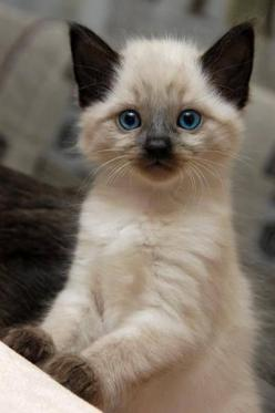 August 8: International Cat Day. Our feline friends are a big part of our lives, so now it's time to celebrate them in a special way -- with 22 GIFs sure to brighten your day.: Cats, Kitty Cat, Animals, Siamese Kittens, Pet, Blue Eyes, Kitty Kitty, Si
