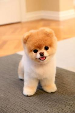 Boo looking extra fluffy! Little Boo is the cutest thing ever. I wants/needs one.: Puppies, Animals, Boo, Cutest Dogs, Pets, Puppys, Adorable, Pomeranian