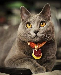 Chartreux Cat - Breed Information