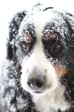 "dogsandpupsdaily: "" - Bernese Mountain Dog. Want more? Follow:http://dogsandpupsdaily.tumblr.com/ "": Doggie, Pets Animals, Gift, Bernese Mountain Dogs, Snow Pup, Snowy Pup, Friend"