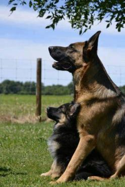 German Shepherd Dog Mum and her Puppy both Listening to their Owner