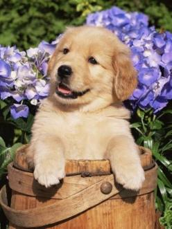 Golden's are so loyal to us they are the most amazing dog ever.....so amazing they deserve their own pin board: Animals, Dogs, Golden Retrievers, Puppys, Golden Retriever Puppies, Golden Retriever