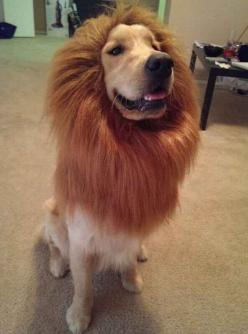I am the Lion King. | 61 Times Golden Retrievers Were So Adorable You Wanted To Cry: Funny Golden Retriever, Animals, Dogs Costume, Funny Dog Costume, Golden Retrievers, Golden Retriever Costume, Lion King, Dog Halloween Costume, Halloween Costumes Dog