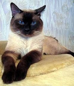 """I love these traditional siamese cats, sometimes called """"thai cat."""" My first cat ever was one."""
