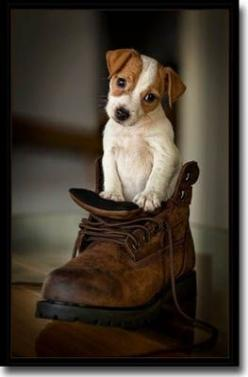 Jack Russell Puppy! :): Jack Russells, Jack Russell Puppies, Pet, Puppys, Jack O'Connell, Dog, Jackrussell