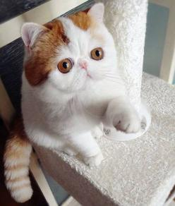Meet Snoopy, an Exotic Shorthair, the Newest Instagram Cat Sensation - PawNation.