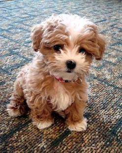 Oh my goodness, what (mixed) breed dog looks this adorable?!: Dogs, Maltipoo, Puppys, Future Pet, Puppy, Box, Animal