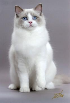 """Ragdoll cat is a cat breed with blue eyes and a distinct colorpoint coat. It is a large and muscular semi-longhair cat with a soft and silky coat. It is best known for its docile and placid temperament and affectionate nature. The name """"Ragdoll"""" i"""