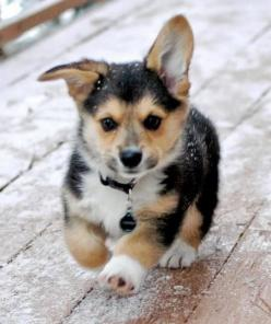 run little dogy run they wont catch u. sooooooo cute it leaves me speechless..............................................: Corgis, Welsh Corgi, Animals, Dogs, Corgi Puppies, Puppys, Corgi S, Box