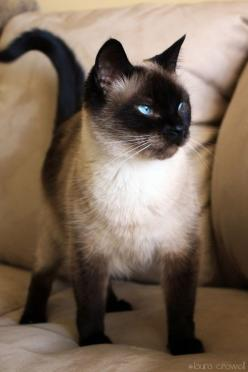 """(Siamese Cat) """"There are two means of refuge from the misery of life - music and cats."""" - - - Albert Schweitzer"""