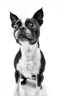 Skylar, Boston Terrier
