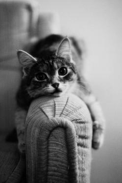 sofa cat.: Kitty Cats, Cute Cats, Fat Cat, Black White, Crazy Cat, Kitty Kitty, Cat Cat, Lazy Days, Cat Lady