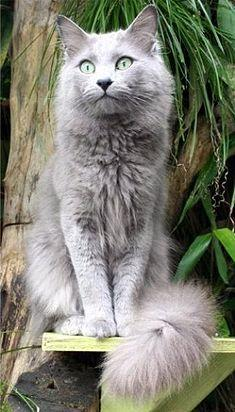 "The Nebelung kitten (NAY-bel-ung) is a medium-longhaired domestic cat with brilliant green or yellow eyes, and a luscious silky grey-blue coat frosted with silver.  The name ""Nebelung"" is derived from the German word for mist or fog—Nebel--and a medieval"