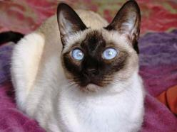 Top 5 of the Most Affectionate Cat Breeds.  The Siamese cat is often thought of as being one of the more high-maintenance cat breeds, and it is true that this exotic, vocal feline can be rather demanding! The Siamese cat views their human family as an ext