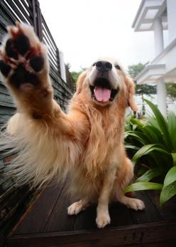 What is it about Golden's and wanting to shake....they are obsessed with it.: High Five, Golden Paw, Dog Selfie, Golden Retrievers, Happy Dogs, High Paw, Furry Friends